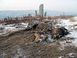 Dead dog in Ulaanbaatar.jpg
