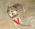 Dead mouse in trap.jpg