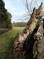 Dead tree in close-up - geograph.org.uk - 1588019.jpg