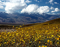 Wildflowers blooming in Death Valley after an unusually wet winter