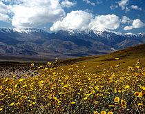 Death Valley Gerea canescens.jpg