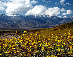 Death Valley Gerea canescens.jpg