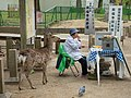 Deer Stalking the Food - Nara (42115451112).jpg