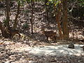 Deers and Monkeys Freely Roaming in Hlawga Park Yangon.JPG