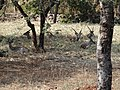 Deers resting in the park 03.jpg