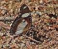 Denaid Eggfly (Hypolimnas misippus) in Kawal, AP W IMG 1788.jpg