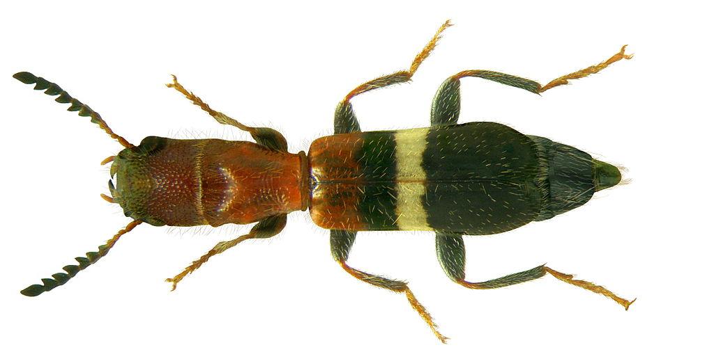 File denops albofasciatus charpentier 1825 3150123379 for 1825 2