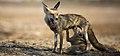 Desert Fox suckling its pup-banner.jpg