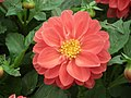 Dhalia from Lalbagh flower show Aug 2013 7925.JPG