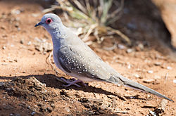 Diamond Dove 1 (20039112449).jpg
