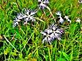 Dianthus superbus. (1).jpg