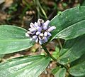 Dichorisandra sp. - Flickr - Dick Culbert.jpg
