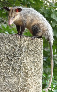 Didelphis marsupialis.jpg
