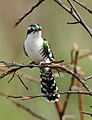 Diederik cuckoo, Chrysococcyx caprius, at Pilanesberg National Park, South Africa (16003010902).jpg