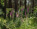 Digitalis purpurea - Purple Foxglove - Roter Fingerhut - Hesse - Germany - 23.jpg
