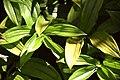 Disporopsis omeiensis in Christchurch Botanic Gardens 01.jpg