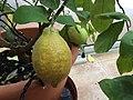 Dojrzewający owoc cytryny.jpg