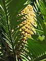 Domaine du Rayol - Encephalartos (cone).jpg