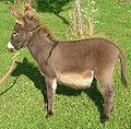 Donkey animal equus africanus asinus.jpg