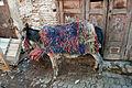 Donkey in medina in Fes (5364508033).jpg