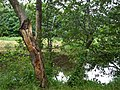 Doomed tree, Omagh - geograph.org.uk - 874377.jpg