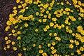 Doronicum orientale IMG 4003 Kevätvuohenjuuri C.JPG
