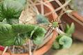 Dorstenia barnimiana-IMG 1603.jpg