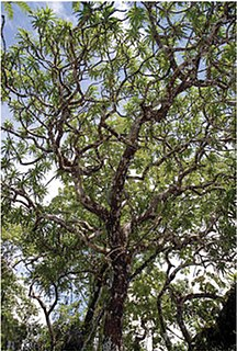 <i>Dracaena kaweesakii</i> species of plant