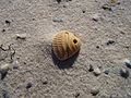 Drilled seashell (25284137384).jpg