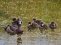 Ducks with chicks.JPG
