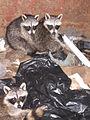 Dumpster raccoons.JPG