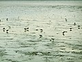 Dunlin and plovers on mudflat Higashiyoka coast.jpg