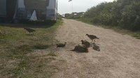 File:Dusting pheasants.webm