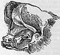 EB1911 Chiroptera Fig. 22.jpg