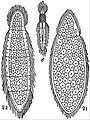 EB1911 Mesozoa - Rhopalura giardii.jpg