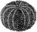 EB1911 Sea-Urchin - Echinus esculentus.jpg