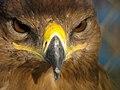 Eagle عقاب 02.jpg