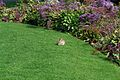 Easter Bunny at Montage Resort Laguna Beach (3437513466).jpg