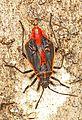 Eastern Box Elder Bug - Boisea trivittata, Julie Metz Wetlands, Woodbridge, Virginia.jpg