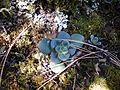 Echeveria aff. montana (5739610907).jpg