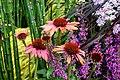 Echinacea purpurea 'Sundown'.jpg