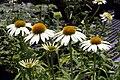 Echinacea purpurea Cygnet White 8zz.jpg