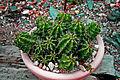 Echinocereus triglochidiatus 1prg.jpg
