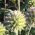 Echinops strigosus inflores1.jpg