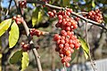 Elaeagnus umbellatus Autumn Eleagnus, Autumn Olive ქილგისებრი ფშატი.JPG