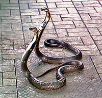 Monocled cobra - WikipediaNaja Kaouthia Venom