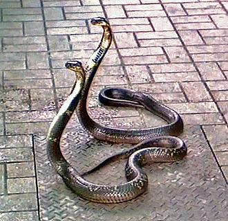 Monocled cobra - Monocled cobras at Snake Farm in Bangkok
