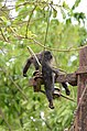 Electrocuted lion-tailed macaque infant in Valparai DSC 2556.jpg