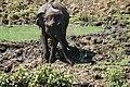Elephants maximus du Parc national de Udawalawa (5).JPG
