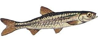 Emerald shiner Species of fish